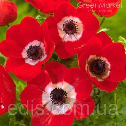Анемона корончатая Hollandia (Голландия) 5 клубней/уп., фото 2