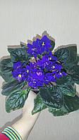 Фиалка ультра-фиолетовая, фото 1