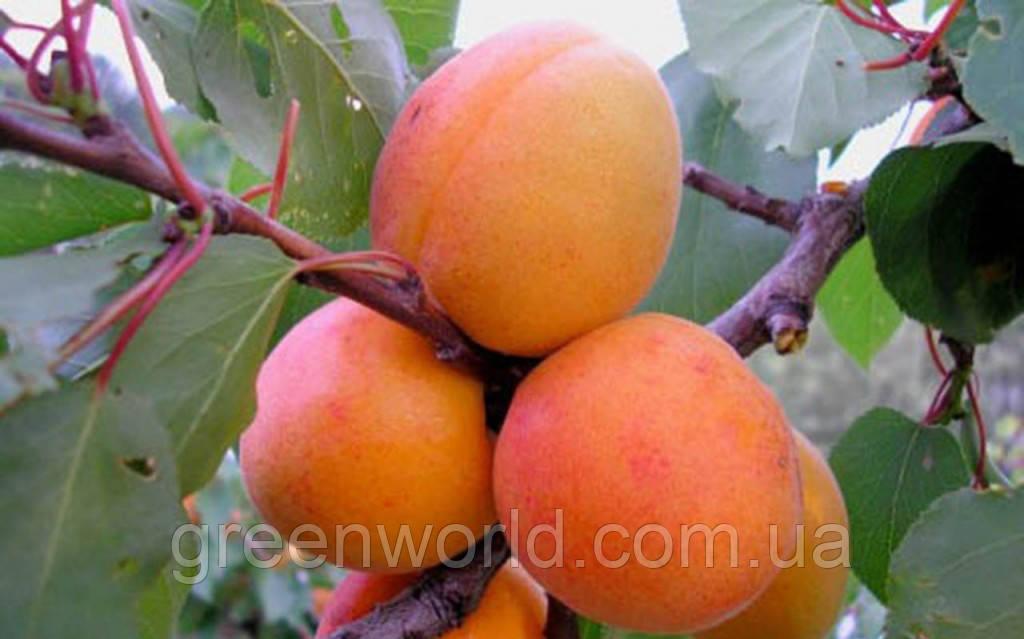 Саженцы абрикоса Мелитопольский ранний