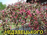 """Саженцы яблони штамбовой """"Недзведского"""" (плакучая)"""