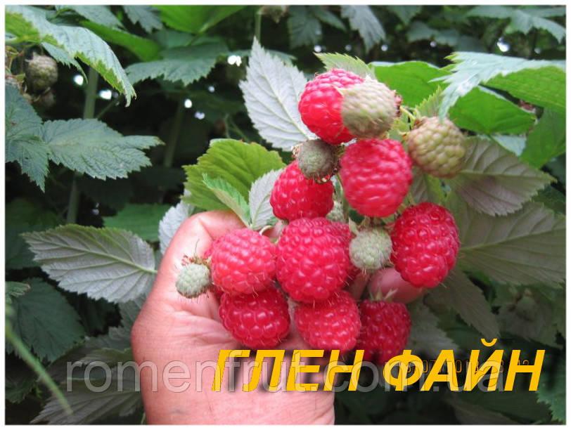 """Саженцы малины """"Глэн Файн"""" (ЗКС) 2 г."""