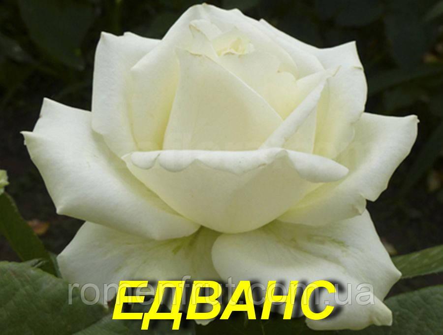 """Саженцы роз """"Эдванс"""" (ч-г) (ЗКС)"""