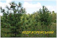 Сосна Кедровая Корейская (Pіnus koraiеnsis) (ЗКС)