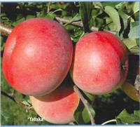 Саженцы яблони Ятака