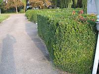 Самшит вечнозеленый  (buxus sempervirens), фото 1