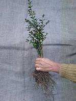 Саженцы вечнозеленого самшита двух и трехгодичные  15-20см;  5 грн/шт