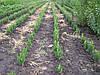 Самшит вечнозеленый, кусты стриженые 15-20см;  9грн/шт
