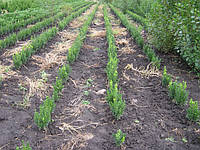 Самшит вечнозеленый, кусты стриженые 15-20см;  9грн/шт, фото 1