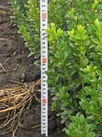 Самшит вечнозеленый. Стриженные  кусты. 25-30см: 15грн/шт