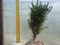 Самшит вечнозеленый. Стриженные и сформированные кусты. 35-40см: 25грн/шт, фото 1