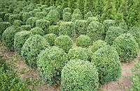 Самшит вечнозеленый. Шары. 100см: 500грн/шт, фото 1