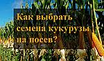 Как выбрать семена кукурузы на посев?