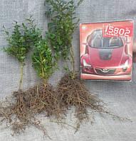 Самшит вечнозеленый. Выращивание саженцев  на заказ  1грн/шт, фото 1