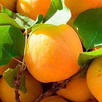 Саженцы абрикоса Голд Рич (Gold Rich)