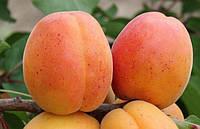 Саженцы Персиковый абрикос