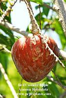 Тропические и субтропические плоды (часть 1)