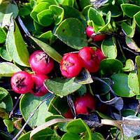 Эфирное масло Винтергрин Winter Green 30мл Лакшми Lakshmi