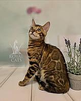 Мальчик бенгал, др. 08.01.2020. Бенгальские котята в Киеве из питомника Royal Cats.