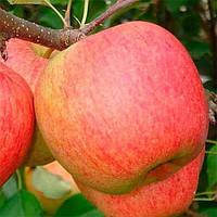 Саджанці яблуні Чемпіон, фото 1