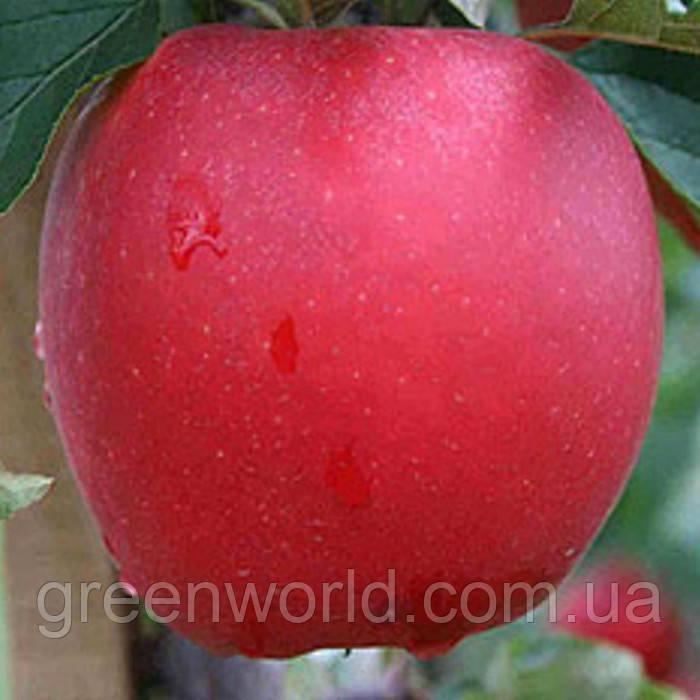 Саженцы яблони Дельбар Жюбиле