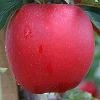 Саджанці яблуні Дельбар Жюбиле