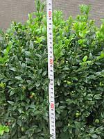 Самшит вечнозеленый. Стриженные и формированные кусты. 45-50см: 60грн/шт, фото 1