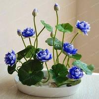 Семена Лотоса electric экзотическое многолетнее растение, цветок бонсай