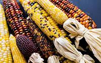 Семена кукурузы декоративная смесь