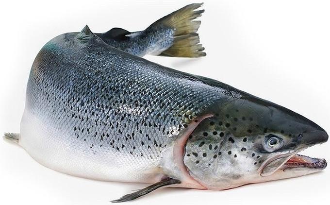 Рыба красная лосось размер 5-6 кг