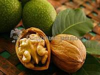 Саженец грецкого ореха Кочерженко -тонкокорый саженец грецкого ореха 1 год