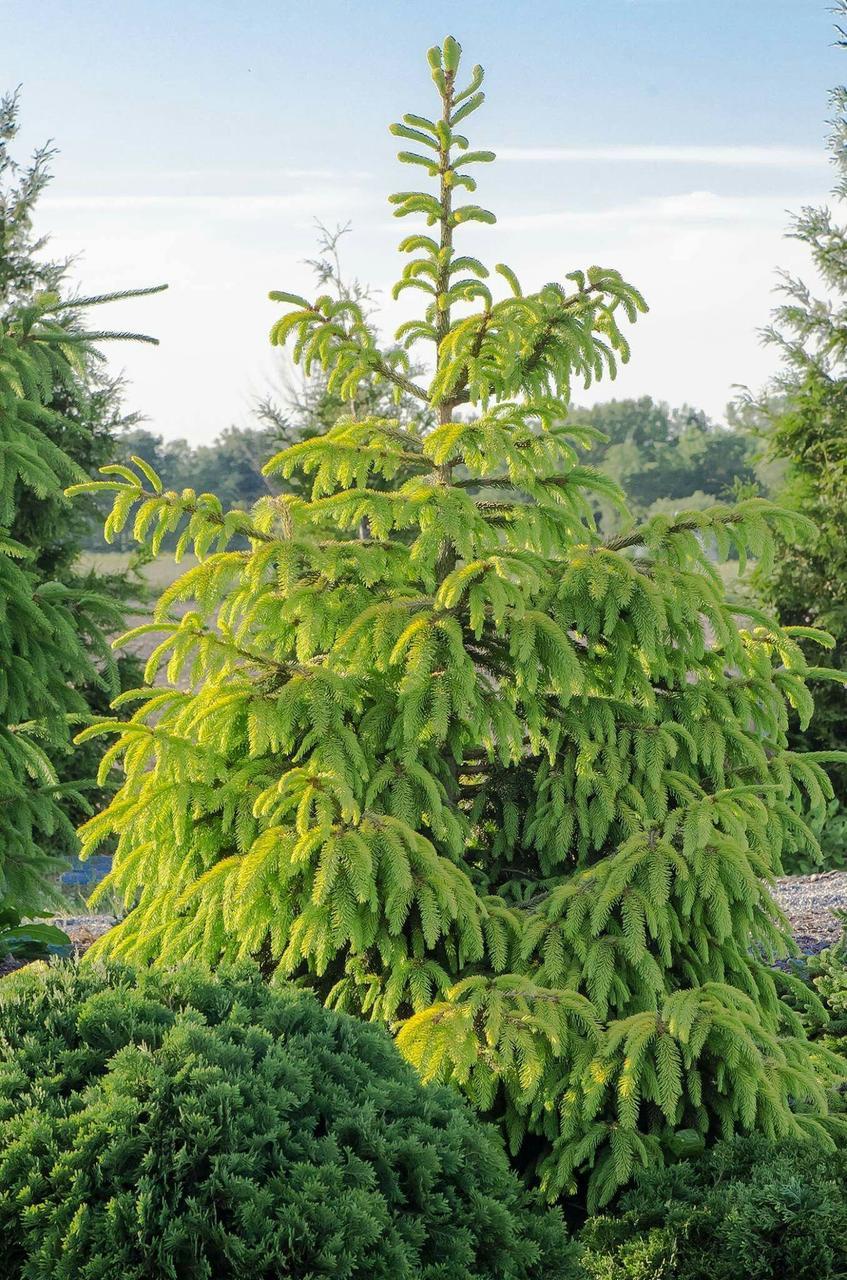 Picea abies Aurea