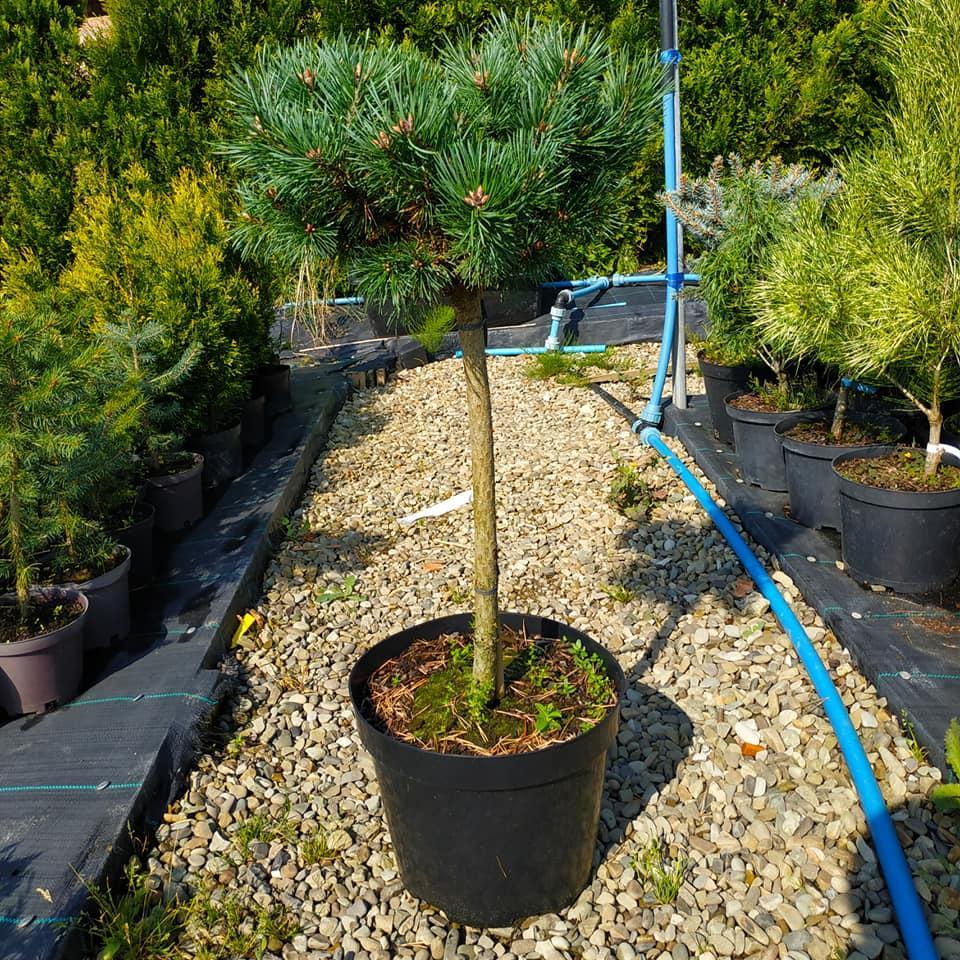 Pinus sylvestris Jeremy