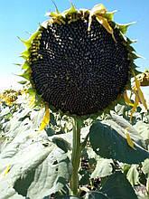 Семена подсолнечника Антей (Под грандстар) калибровка 2,8 мм.(Стандарт)