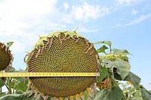 Семена подсолнечника Антей+ под гранстар калибровка 2,8 мм.(Стандарт)
