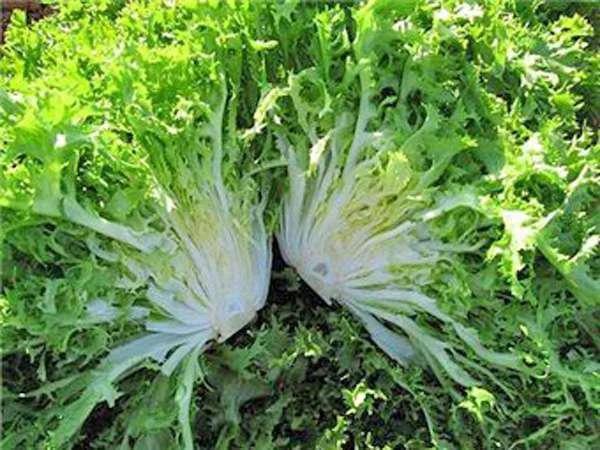 Семена салата Фризе Валоне Hortus Италия 1г
