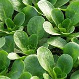 Семена салата Фризе Валоне Hortus Италия 1г, фото 2
