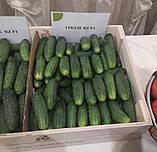 Насіння огірка ТРІОЛЕ (TRIOLE ) F1, 1000 насіння партенокарпічний, фото 2