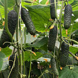 Насіння огірка ТРІОЛЕ (TRIOLE ) F1, 1000 насіння партенокарпічний, фото 3