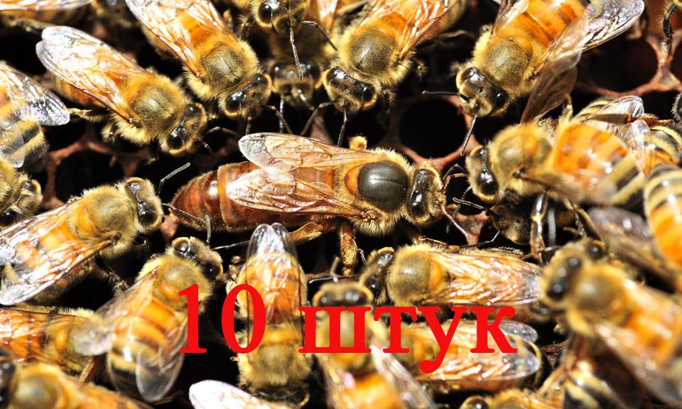 Матка Бакфаст (не плодная) – 10 пчеломаток