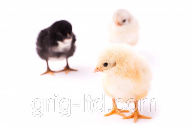 Суточные цыплята породы Геркулес