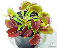 Венерина Мухоловка (типичная форма) - хищное, насекомоядное, экзотическое взрослое растение. Размер L.
