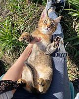 Кошечка Чаузи Ф2 (orange collar) рождена 12.01.2020 в питомнике Royal Cats. Украина, Киев, фото 1