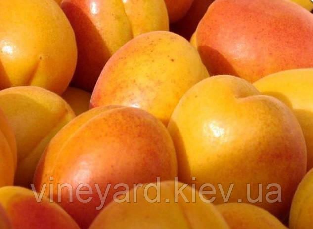 Джумбо Кот, Jumbo Cоt саженцы абрикоса на сеянце жардель ОПТОМ