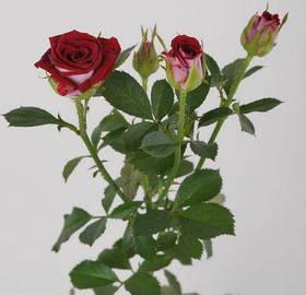 Роза спрей бордюрная Руби Стар класс АА премиум