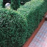 Вічнозелені листяні рослини
