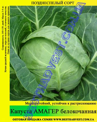 Семена капусты Амагер 10 кг (мешок), фото 2