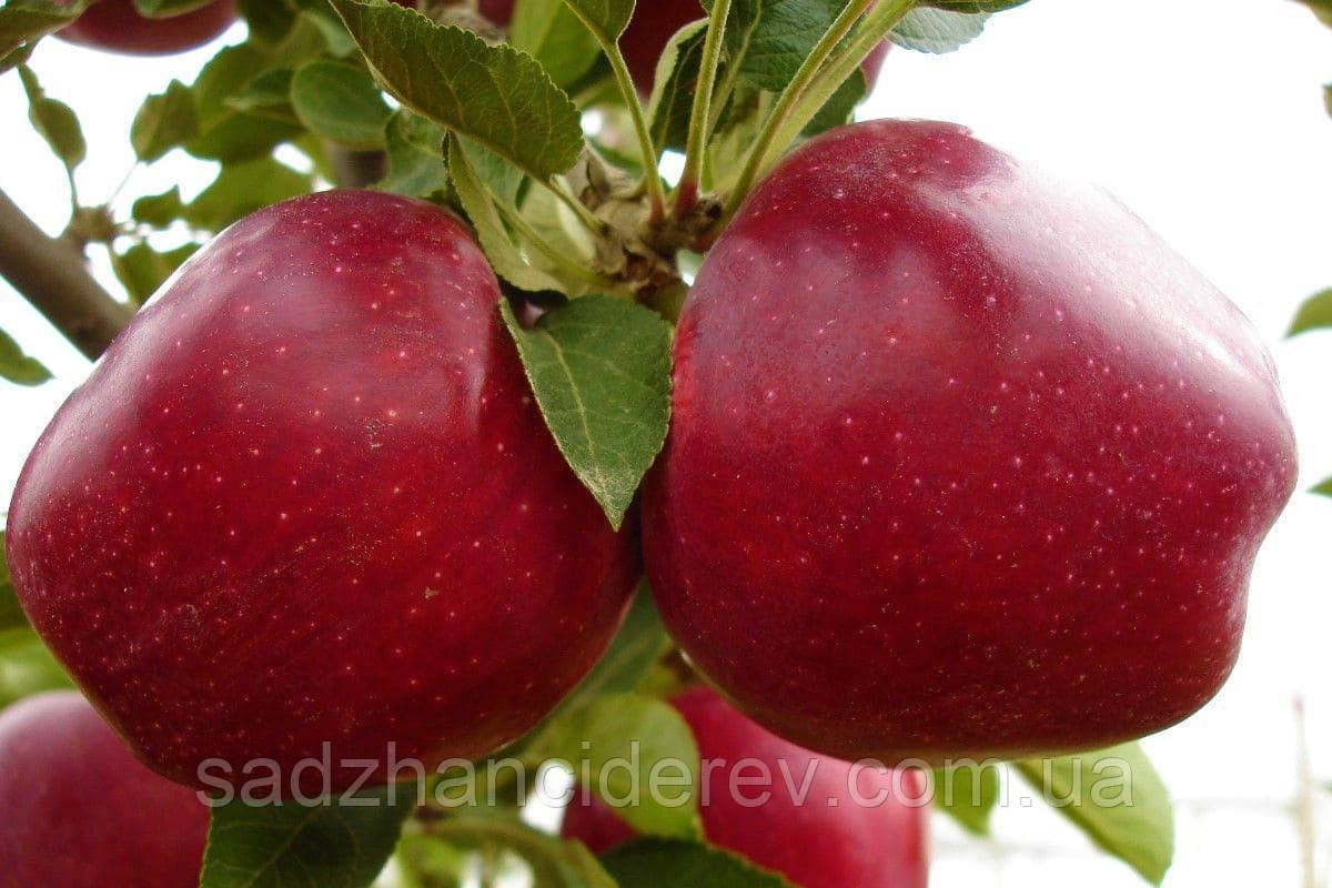 Саджанці яблунь Моді