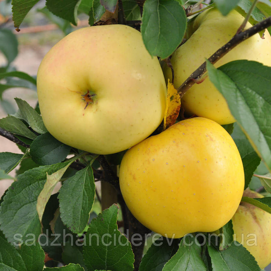 Саджанці яблунь Пепинка золотистая
