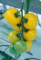 Томат желтый Гуалдиньо F1 - Enza Zaden (Энза Заден), уп. 250 семян (индетерминантный)