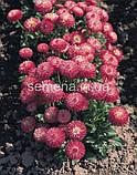 Маргаритка (стокротка) Роглі 1000 шт. (колір на вибір), фото 3